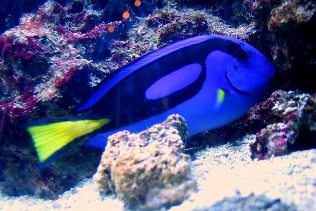 Blue tang fish dori fish flickr photo sharing for Blue tang fish facts