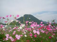 blossom(0.0), grass(0.0), annual plant(1.0), flower(1.0), garden cosmos(1.0), plant(1.0), wildflower(1.0), flora(1.0), meadow(1.0), cosmos(1.0), pink(1.0), petal(1.0),