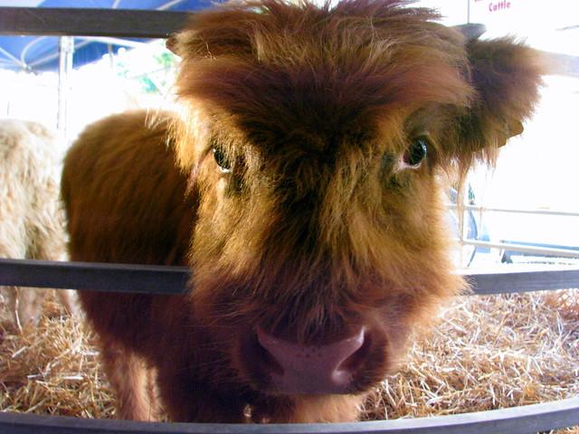 2010 tn state fair highland cow these long hair cows nati