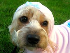petit basset griffon vendã©en(0.0), glen of imaal terrier(0.0), morkie(0.0), west highland white terrier(0.0), dog breed(1.0), animal(1.0), dog(1.0), cavachon(1.0), schnoodle(1.0), pet(1.0), norfolk terrier(1.0), mammal(1.0), poodle crossbreed(1.0), dandie dinmont terrier(1.0), cockapoo(1.0), cavapoo(1.0), terrier(1.0),