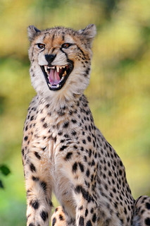 The smile of the cheetah