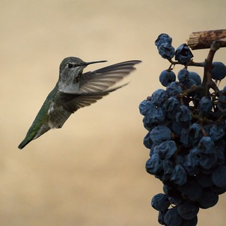 Hummingbird in the vineyard