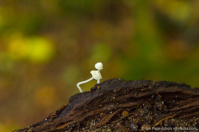 Tiny white mushrooms