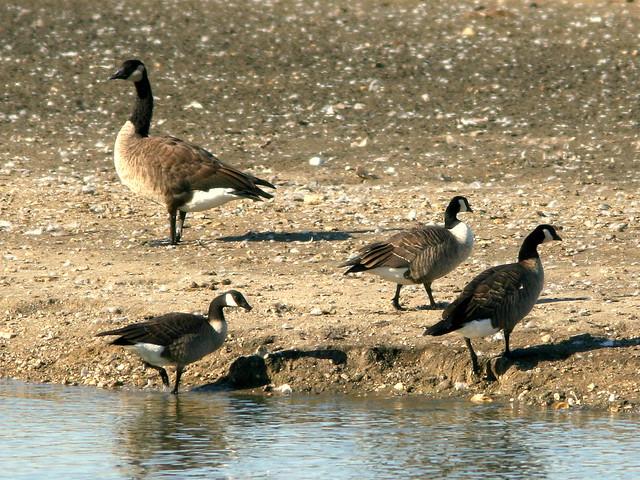 Cackling Goose- Branta hutchinsii 20101009