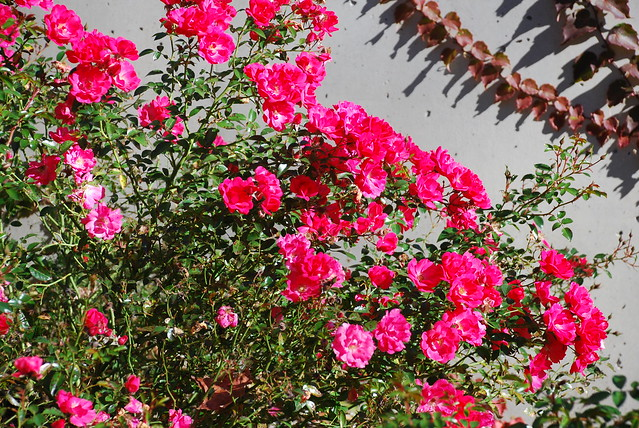 Carpet Roses Vs Knockout Roses Carpet Vidalondon