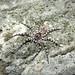 Tapetosa (Carpet Wolf Spider)