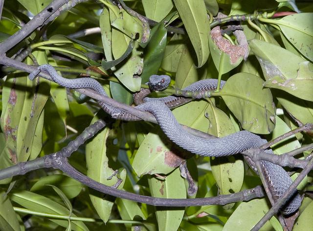 Mangrove pit viper (Cryptelytrops purpureomaculatus)