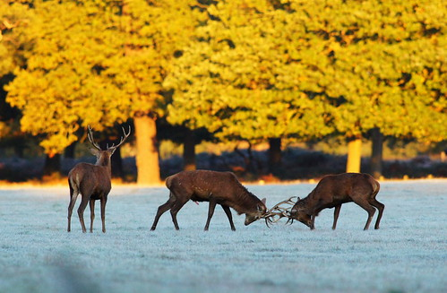 Rutting Stags in Richmond Park