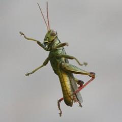 arthropod, locust, animal, cricket-like insect, invertebrate, insect, macro photography, grasshopper, fauna,