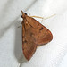 Small photo of .Uresiphita gilvata. Crambidae.