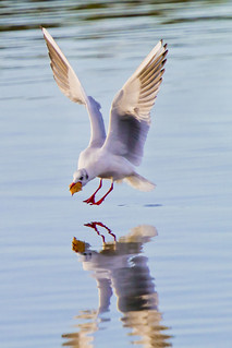Black-headed gull - 1 second to splashdown!