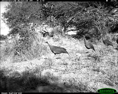Vulterine Guineafowl