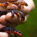Pacific Newts - Photo (c) Ken-ichi Ueda, some rights reserved (CC BY-NC-SA)
