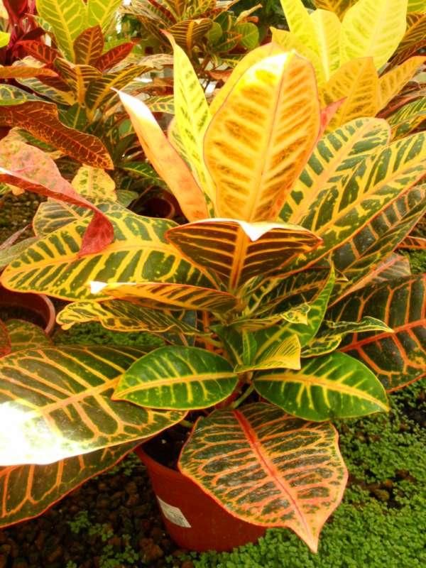 Codiaeum variegatum v 1