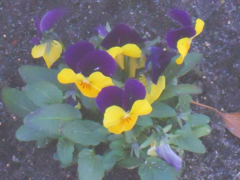 Viola tricolor 5