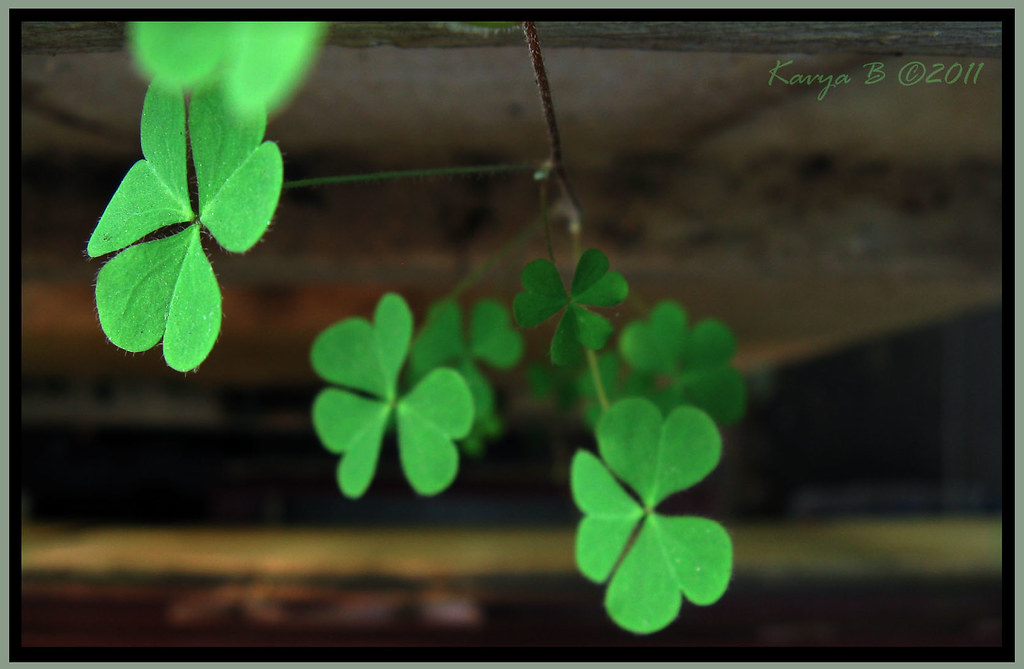Three leaf clover(?).. hope to find a 4-leaf one too :)