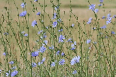 Chicory blooming (Cichorium intybus), Dunkirk Walmart, Lower Marlboro Quad, Calvert County, MD, 2017_0615