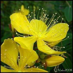 La belleza de las flores. Hypericum