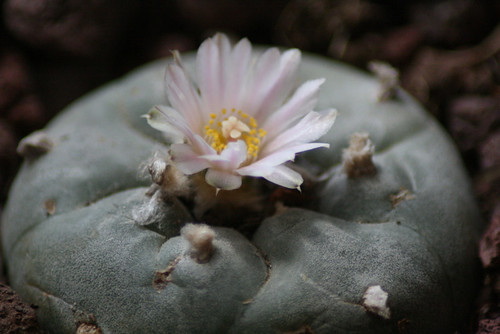 Peyote Bloom