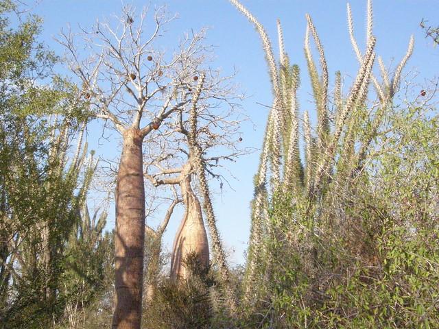 présentons les Didiereaceae 4956534976_9f66cd3cfc_z