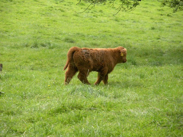 Baby highland cow - photo#19