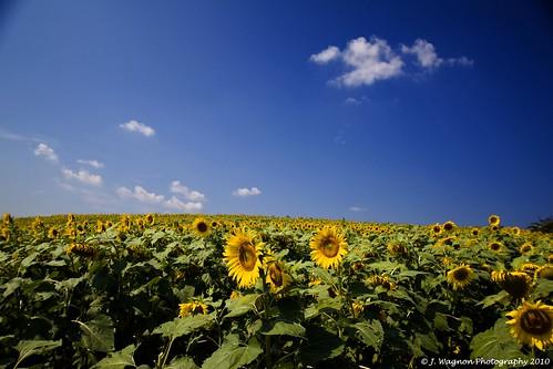 sunflowers sunflowerfarm janicewagnon jwagnonphotography thankyoudebcampbell sunflowerpalooza blountandloudoncountiestn 50acresofsunflowers