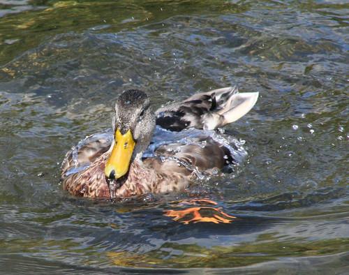 Duck Bath 2