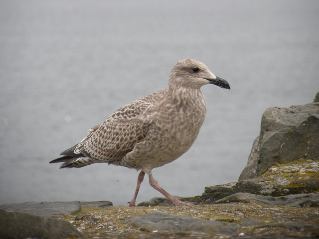 The answer to the Gull and Tern Quiz is… – Mia McPherson's ...