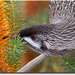 Wattle bird and banksia