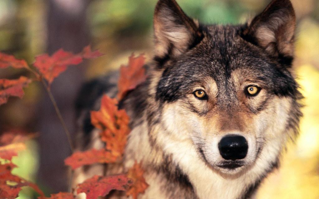 秋っぽい狼の画像