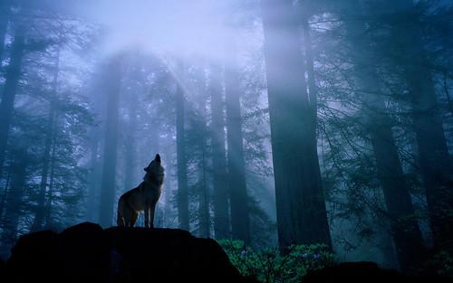 無料写真素材, 動物 , 狼・オオカミ, 森林
