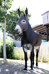mare(0.0), okapi(0.0), halter(0.0), horse(0.0), mustang horse(0.0), animal(1.0), donkey(1.0), pack animal(1.0),