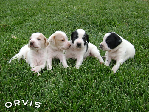 Orvis Cover Dog Contest - The Four Musketeers