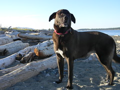 dog breed, animal, dog, pet, mammal, guard dog,