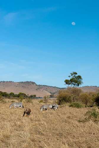 africa horses fauna mammal kenya safari event antelope afrika region mammalia topi equus hästar grantszebra eventoedungulates plainszebra oddtoedungulates burchellszebra masaimaranationalreserve riftvalleyprovince artiodactyla perissodactyla maasaimaranationalreserve commonzebra equusquagga equusquaggaboehmi däggdjur equusquaggaburchellii antilop stäppsebra damaliscuskorrigum boehmszebra partåigahovdjur oloolologatecamping uddatåigahovdjur burchellssebra plainssubspecies