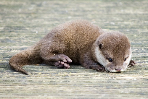 Baby Otter by Photography By Pixie