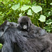 Gorilla mother and baby in Volcano national park, Rwanda by Eric Lafforgue