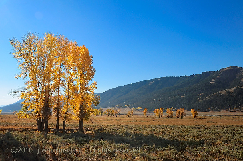 Lamar Valley Autumn Poplar