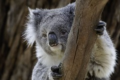 Koala from the Phillip Island Conservation Centre.