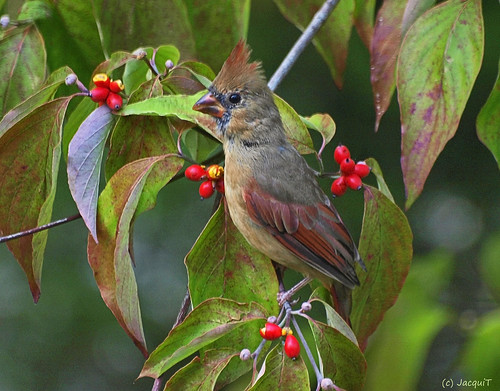 Young Cardinal in Dogwood Tree
