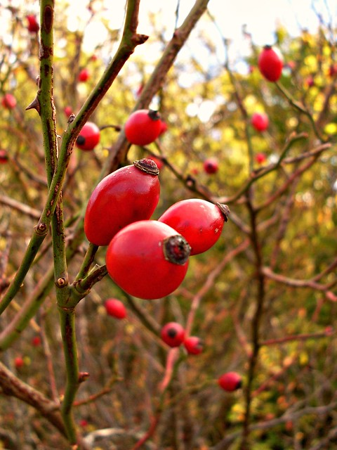Dog Rose Hips (Rosa Canina)