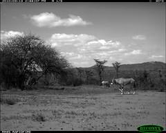 Besia Oryx
