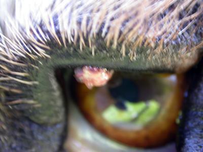Dog Eye Cyst On Eyelid