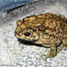 Asian Common Toad - Photo (c) 侯鸣飞, some rights reserved (CC BY-NC-SA)