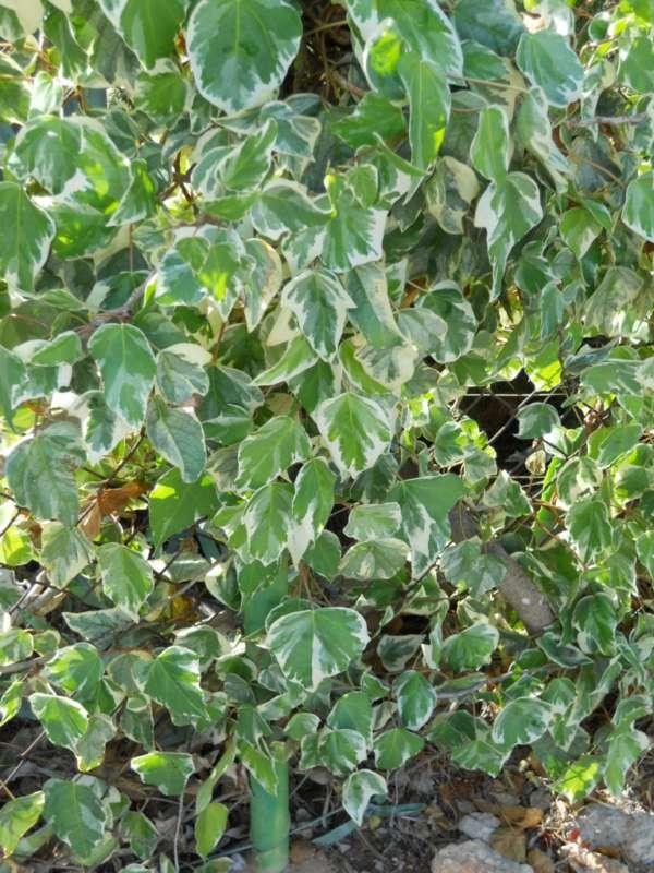 Hedera canariensis 'Variegata' v 1