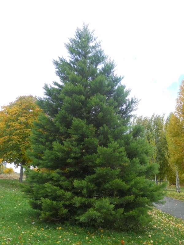 Sequoiadendron giganteum v 1