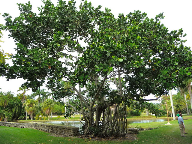 """... Search results for """"Clusia Rosea Landscape Plants For South Florida"""