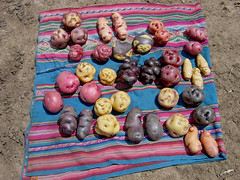 Wed, 12/04/2006 - 11:01 - Different potato varieties in the Potato Park, Cusco, Peru