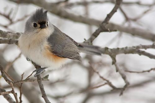 tuftedtitmouse bird titmouse ave carbonero carbonerocopetón nature naturaleza fauna wildlife