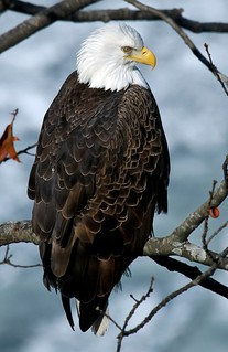 Mature Bald Eagle Perched